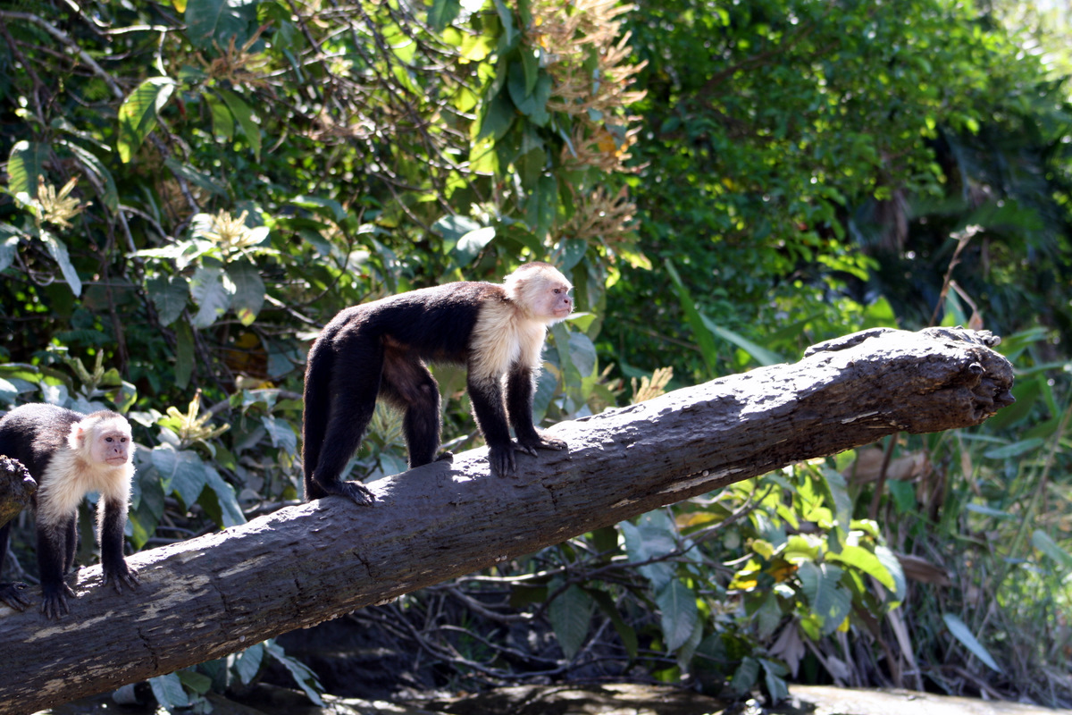 Monkeys - Palo Verde - Costa Rica Activities & Tours